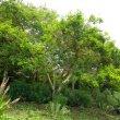 Vachellia sieberiana woodii