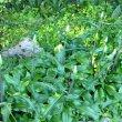 Veltheimia bracteata