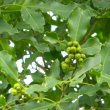 Vepris lanceolata fruit