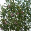 Virgilia divaricata foliage