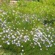 Wahlenbergia rivularis Kirstenbosch
