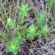 Wahlenbergia rivularis newfoliage