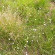 Wahlenbergia rivularis pathway