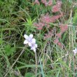 Wahlenbergia rivularis random