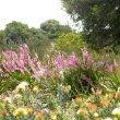 Watsonia borbonica mass
