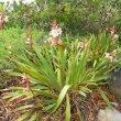 Watsonia knysnana form