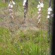 Watsonia knysnana wild