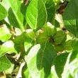 Withania somnifera fruit green