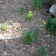 Withania somnifera seedlings