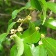 Ziziphus mucronata flower