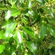 Ziziphus mucronata foliage