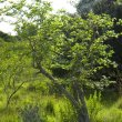 Ziziphus mucronata pruned