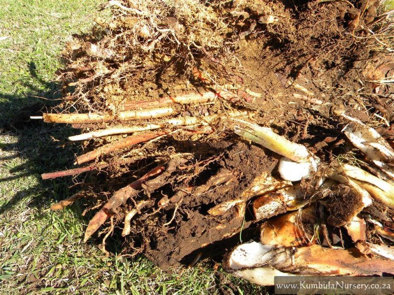 Digging Out A Strelitzia Kumbula Indigenous Nursery