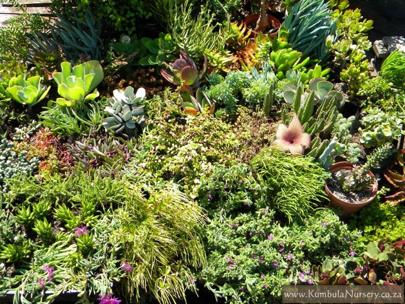 Create a successful low cost succulent garden kumbula for Succulents that do well in shade