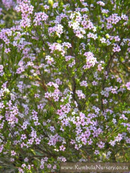 Coleonema pulchellum kumbula indigenous nursery coleonema pulchellum coleonema pulchellum mightylinksfo