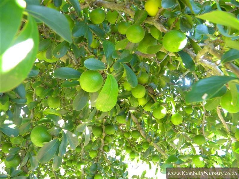 Dovyalis Caffra Unripe Fruit