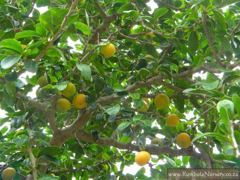 Dovyalis Caffra Fruit