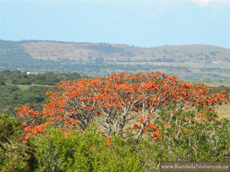 erythrina caffra kumbula indigenous nursery