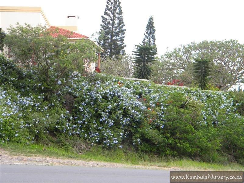 Planting Under Eucalyptus Trees : Plumbago auriculata blue kumbula indigenous nursery