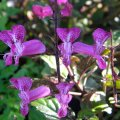 Plectranthus - Cape Angel