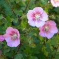 Anisodontea julii flower