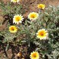 Arctotis stoechadifolia
