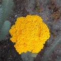 Athanasia pinnata flower