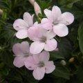 Barleria obtusa pink