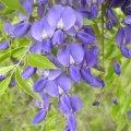 Bolusanthus speciosus flower close