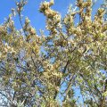 Brachylaena elliptica