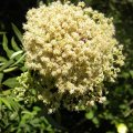 Buddleja saligna flower