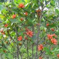 Burchellia bubalina