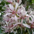 Calodendrum capense flower