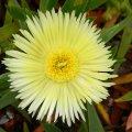 Carpobrotus edulis flower