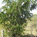 Catunaregum taylorii form