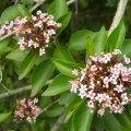 Clerodendrum glabrum flower heads