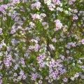 Coleonema pulchellum flower mass