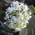 Crassula lactea flower