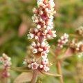 Crassula lanceolata ssp. lanceolata