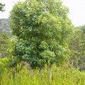 Cunonia capensis form