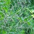 Dovyalis rotundifolia thorns