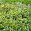 Plectranthus verticillatus