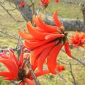 Erythrina lysistemon flower close