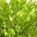 Euclea undulata foliage