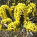 Euphorbia coerulescens cymes