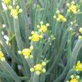 Euphorbia mauritanica