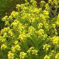 Euryops Virgineus  flowers