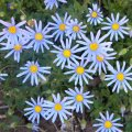 Felicia amelloides flower mass