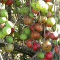 Ficus sur fruit
