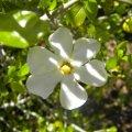 Gardenia cornuta flower